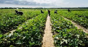 Agricultural Product Marketing: Vegetables Marketing
