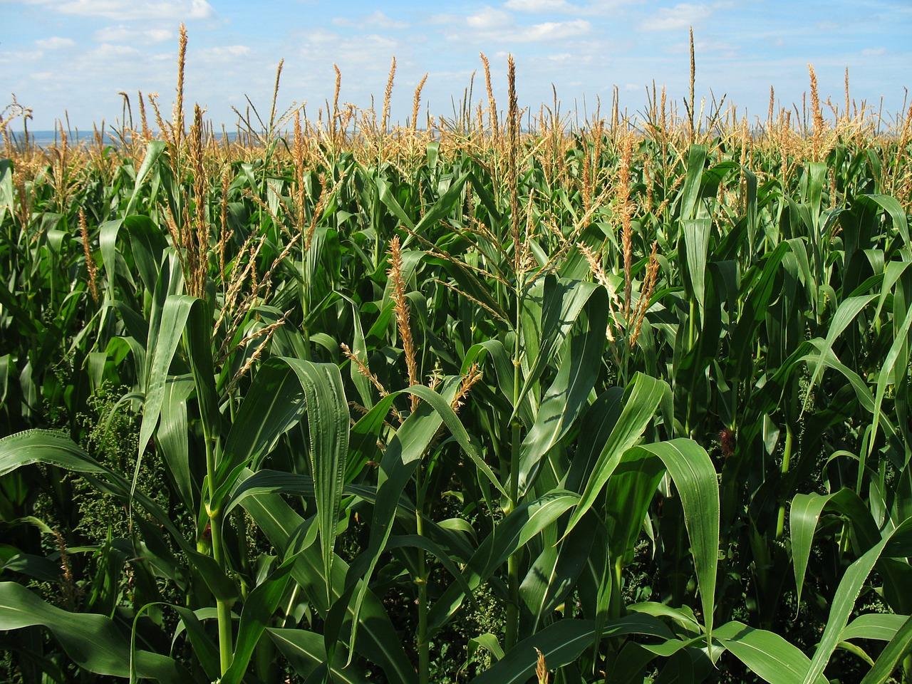 Maize farming in Nigeria: Startup Guide