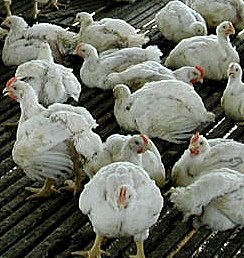 Guest Post: Causes of Mortality in Poultry Birds