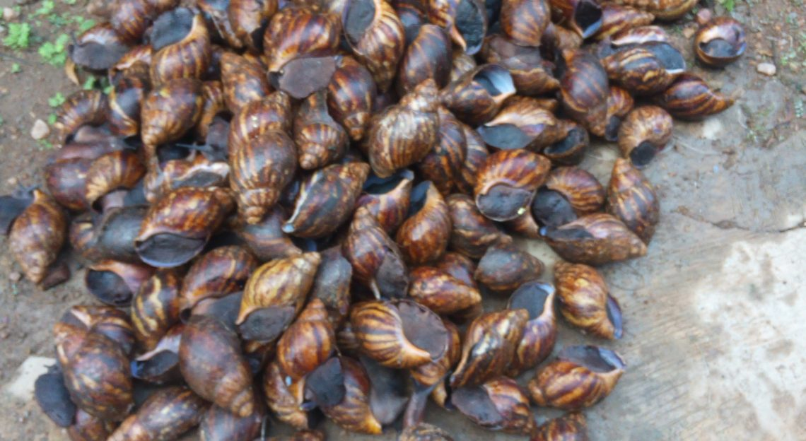 Snail Farming in Nigeria: StartUp Guide