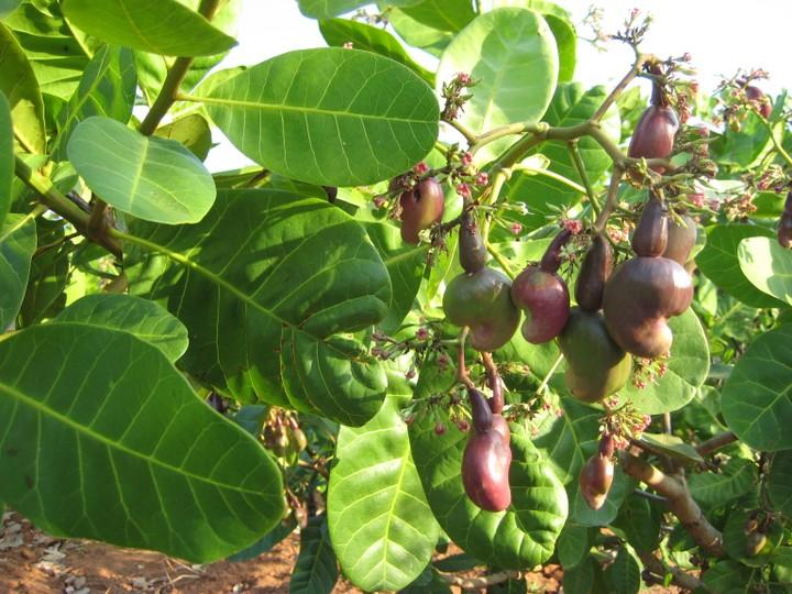 cashew farming in Nigeria