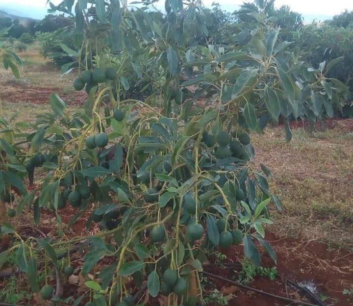 Hass Avocado farming in Nigeria
