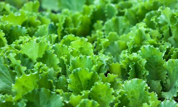 Lettuce Farming in Nigeria: Beginners Guide