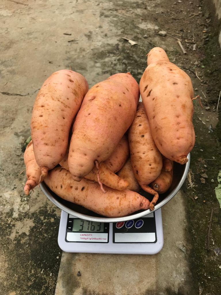 Orange Fleshed Sweet Potato in Nigeria: The New Gold
