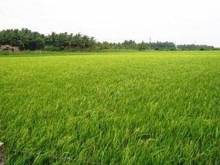 Rice Farming in Nigeria; Beginners Guide